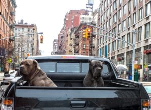 Dogs In A Truck Bed
